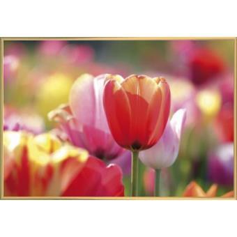 poster encadr fleurs tulipes rouges et roses dans un champ 61x91 cm cadre plastique or. Black Bedroom Furniture Sets. Home Design Ideas