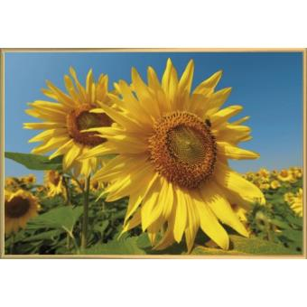 poster encadr fleurs champ de tournesols 61x91 cm cadre plastique or top prix fnac. Black Bedroom Furniture Sets. Home Design Ideas