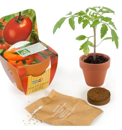 Graines de Tomate Cerise en pot de culture terre cuite