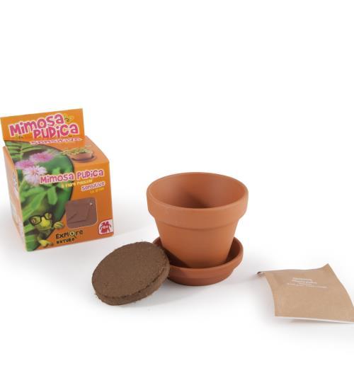 Graines de Mimosa pudica en pot de culture pour enfants