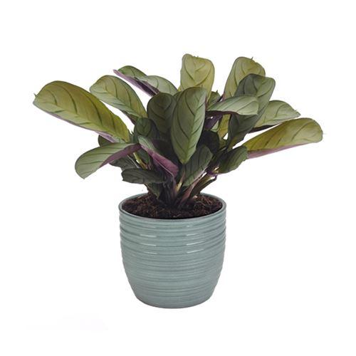Plante d'intérieur de Botanicly – Ctenanthe en pot céramique bleu vert 'Bergamo' comme un ensemble – Hauteur: 20 cm – Ctenanthe Amagris