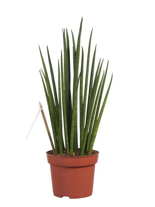 Plante d'intérieur de Botanicly – Langue de belle-mère – Hauteur: 40 cm – Sansevieria Mikado