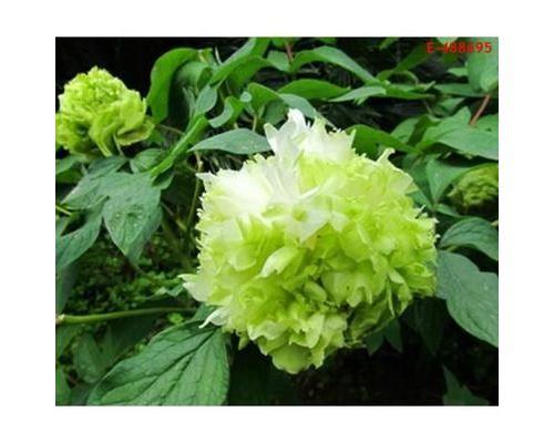 35PCS Graines de fleurs de pivoine chinoise