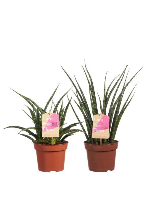 Plantes d'intérieur de Botanicly – 2 × Langue de belle-mère – Hauteur: 40 cm – Sansevieria Fernwood duo