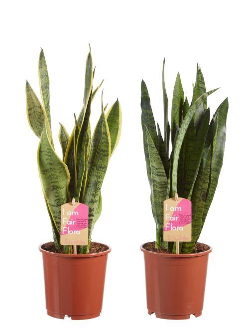 Plantes d'intérieur de Botanicly – 2 × Langue de belle-mère – Hauteur: 50 cm – Sansevieria Classic duo