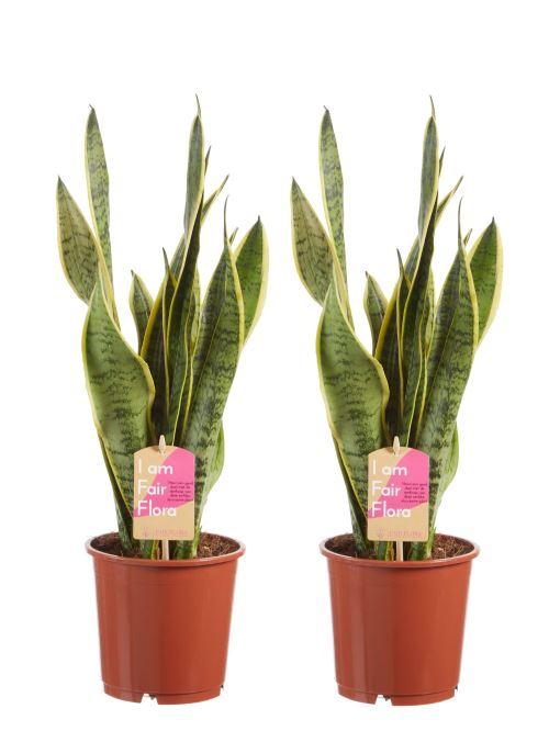 Plantes d'intérieur de Botanicly – 2 × Langue de belle-mère – Hauteur: 50 cm – Sansevieria trif. Laurentii