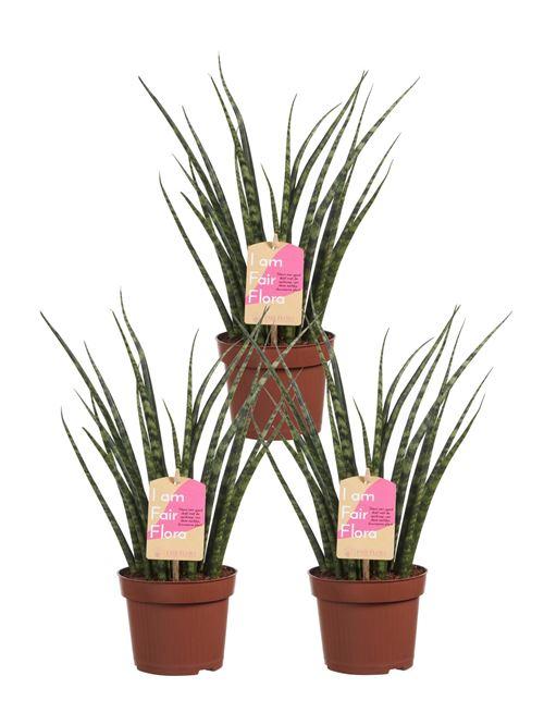 Plantes d'intérieur de Botanicly – 3 × Langue de belle-mère – Hauteur: 40 cm – Sansevieria Fernwood Mikado