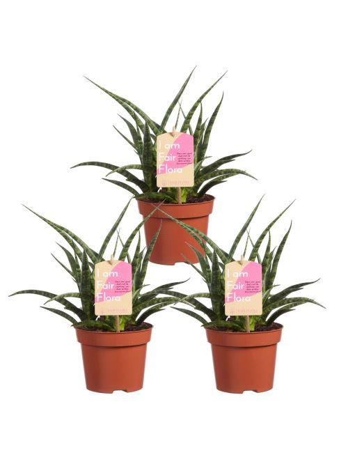 Plantes d'intérieur de Botanicly – 3 × Langue de belle-mère – Hauteur: 30 cm – Sansevieria Fernwood Punk