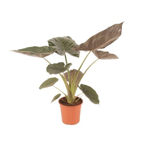 Plante d'intérieur de Botanicly – Alocasia – Hauteur: 80 cm – Alocasia Wentii