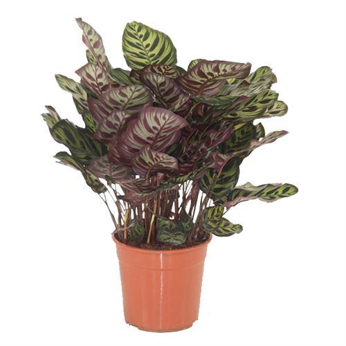 Plante d'intérieur de Botanicly – Calathea Makoyana – Hauteur: 80 cm