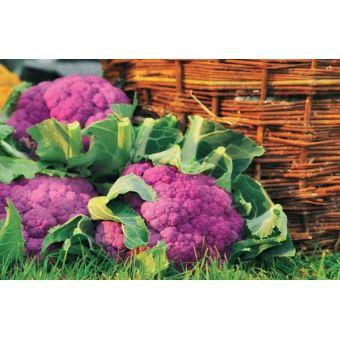 Chou Fleur Violet De Sicile Le Sachet De 1 G Plantes Graines
