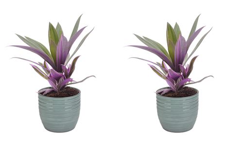 Plantes d'intérieur de Botanicly – 2 × Misère pourpre en pot céramique bleu vert 'Bergamo' comme un ensemble – Hauteur: 25 cm – Tradescantia Purpurea