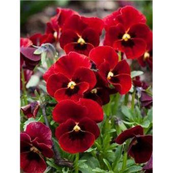 Pesters Nouveau Belle adorable fleur odorante Graines ...