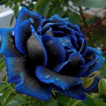 20 Graines De Rose Bleu Floraison Minuit Rose Fleur Plante Petale
