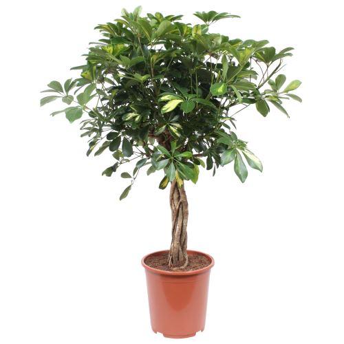 Plante d'intérieur de Botanicly – Calathea Medaillon – Hauteur: 80 cm