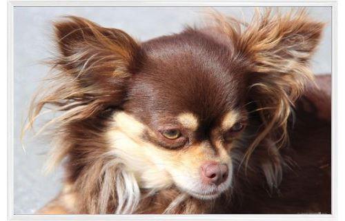 Poster Encadre Chiens Chihuahua A Poil Long Marron 61x91 Cm Cadre Plastique Blanc Poster Affiche Encadre Top Prix Fnac