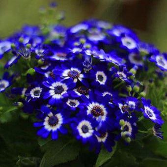 35 Sur 20 Graines De Chicoree Bleu Facile A Cultiver Fleur Plante