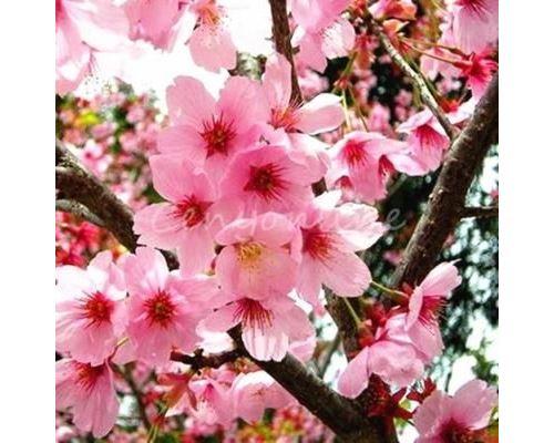 10Pcs Graines de fleurs rare japonais cerisier sakura