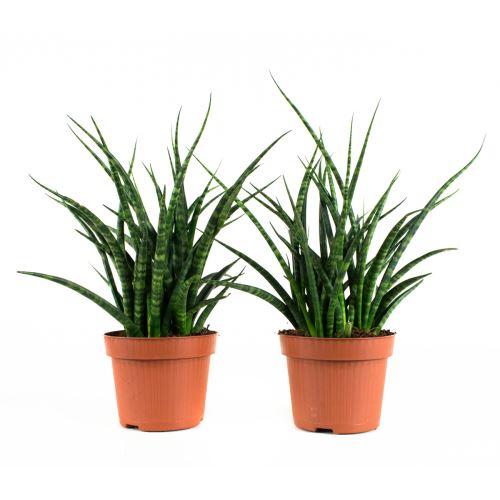 Plantes d'intérieur de Botanicly – 2 × Langue de belle-mère – Hauteur: 25 cm – Sansevieria Fernwood Punk