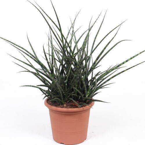 Plante d'intérieur de Botanicly – Langue de belle-mère – Hauteur: 60 cm – Sansevieria Fernwood Punk