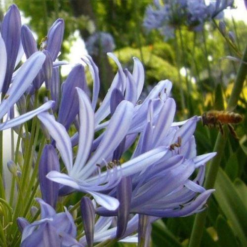 5pcs Rare Graines de fleur de Agapanthus africanus Hoffmgg
