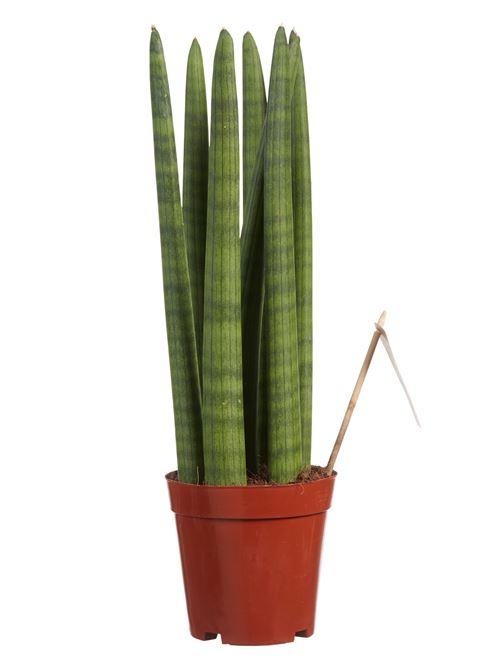 Plante d'intérieur de Botanicly – Langue de belle-mère – Hauteur: 40 cm – Sansevieria Straight