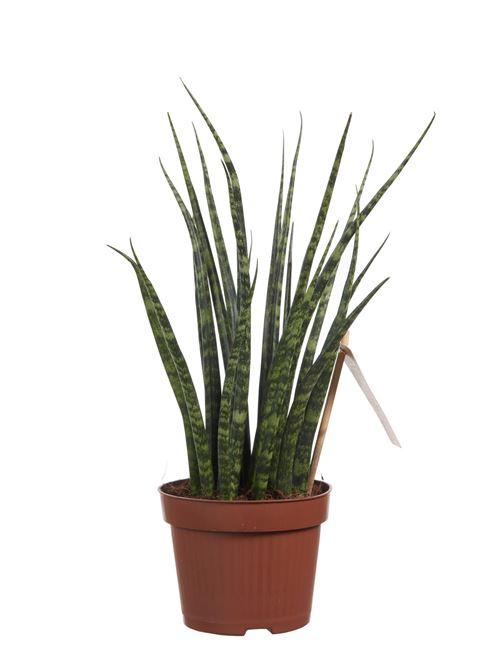 Plante d'intérieur de Botanicly – Langue de belle-mère – Hauteur: 40 cm – Sansevieria Fernwood Mikado