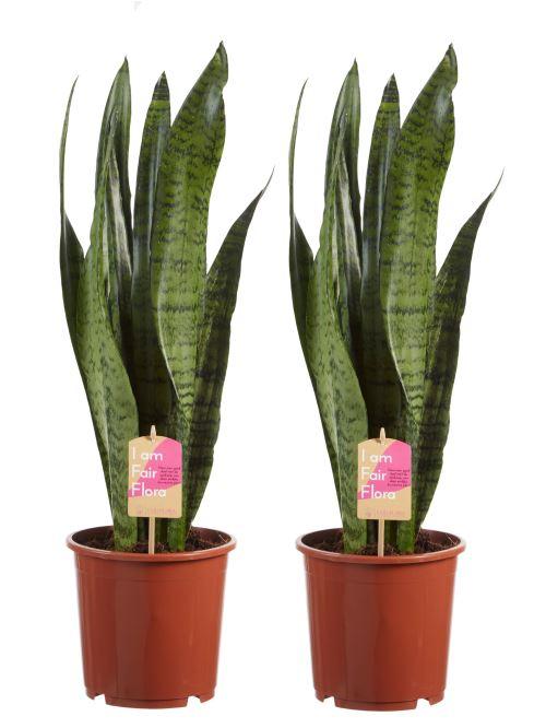 Plantes d'intérieur de Botanicly – 2 × Langue de belle-mère – Hauteur: 65 cm – Sansevieria Zeylanica