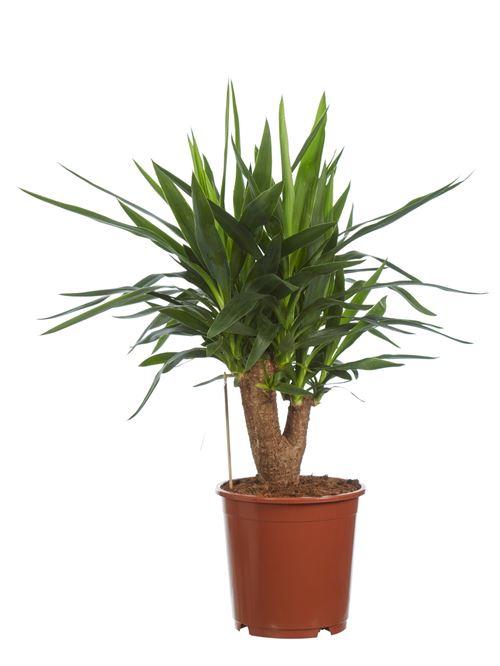 Plante d'intérieur de Botanicly – Pied d'éléphant – Hauteur: 80 cm – Yucca elephantipes
