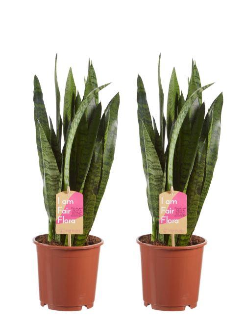 Plantes d'intérieur de Botanicly – 2 × Langue de belle-mère – Hauteur: 50 cm – Sansevieria Zeylanica