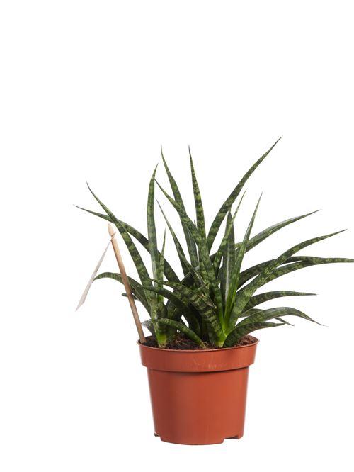 Plante d'intérieur de Botanicly – Langue de belle-mère – Hauteur: 30 cm – Sansevieria Fernwood Punk