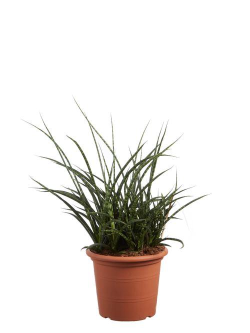 Plante d'intérieur de Botanicly – Langue de belle-mère – Hauteur: 60 cm – Sansevieria Fernwood Punk 0