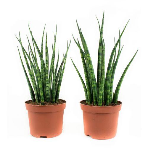 Plantes d'intérieur de Botanicly – 2 × Langue de belle-mère – Hauteur: 23 cm – Sansevieria bacularis Mikado