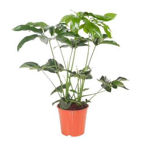 Plante d'intérieur de Botanicly – Philodendron Green Wonder – Hauteur: 80 cm