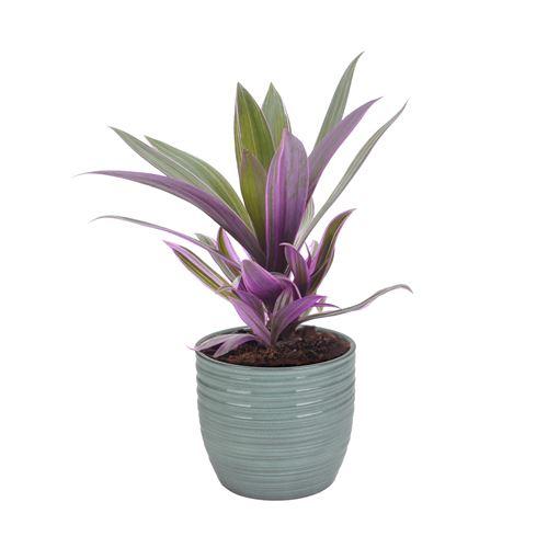 Plante d'intérieur de Botanicly – Misère pourpre en pot céramique bleu vert 'Bergamo' comme un ensemble – Hauteur: 25 cm – Tradescantia Purpurea