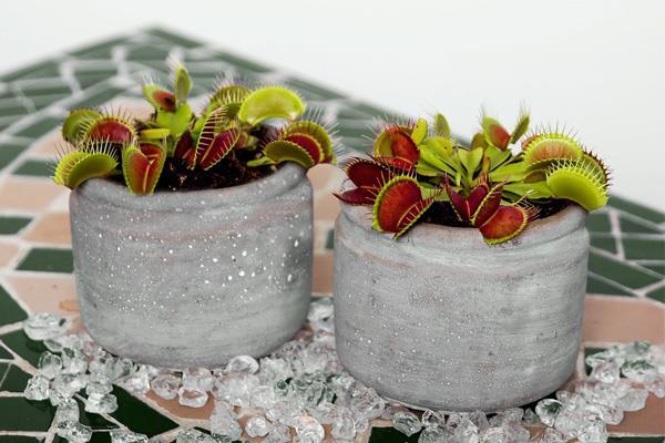 plante carnivore colmar