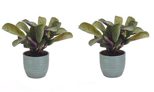 Plantes d'intérieur de Botanicly – 2 × Ctenanthe en pot céramique bleu vert 'Bergamo' comme un ensemble – Hauteur: 20 cm – Ctenanthe Amagris