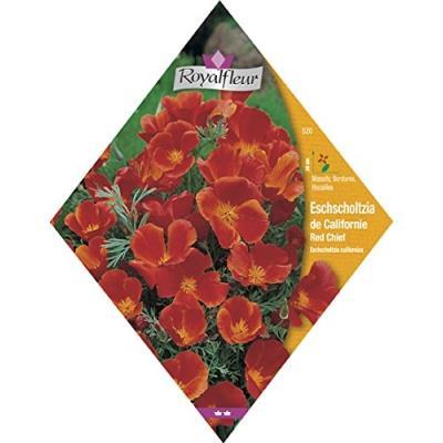 Royalfleur Pfrv00520 Graines De Eschscholzia De Californie Red Chief