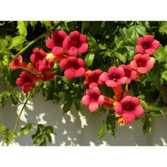 Bignone Grenadine Rutcam C 3 Litres Fleur Rouge Plantes