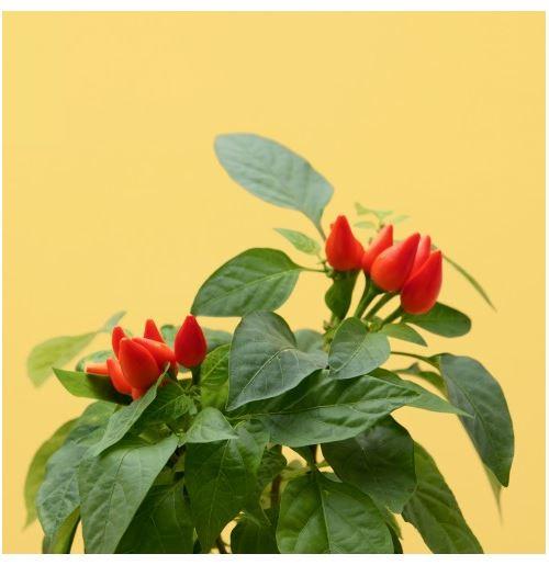 Capsule de mini piments Prêt à pousser